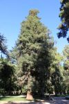 sequoia_roma_pincio_fratus_2012_a
