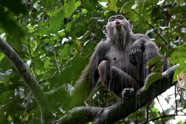 chimps-615
